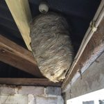 Wasp nest in loft.