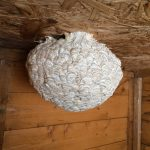Wasp nest in shed.