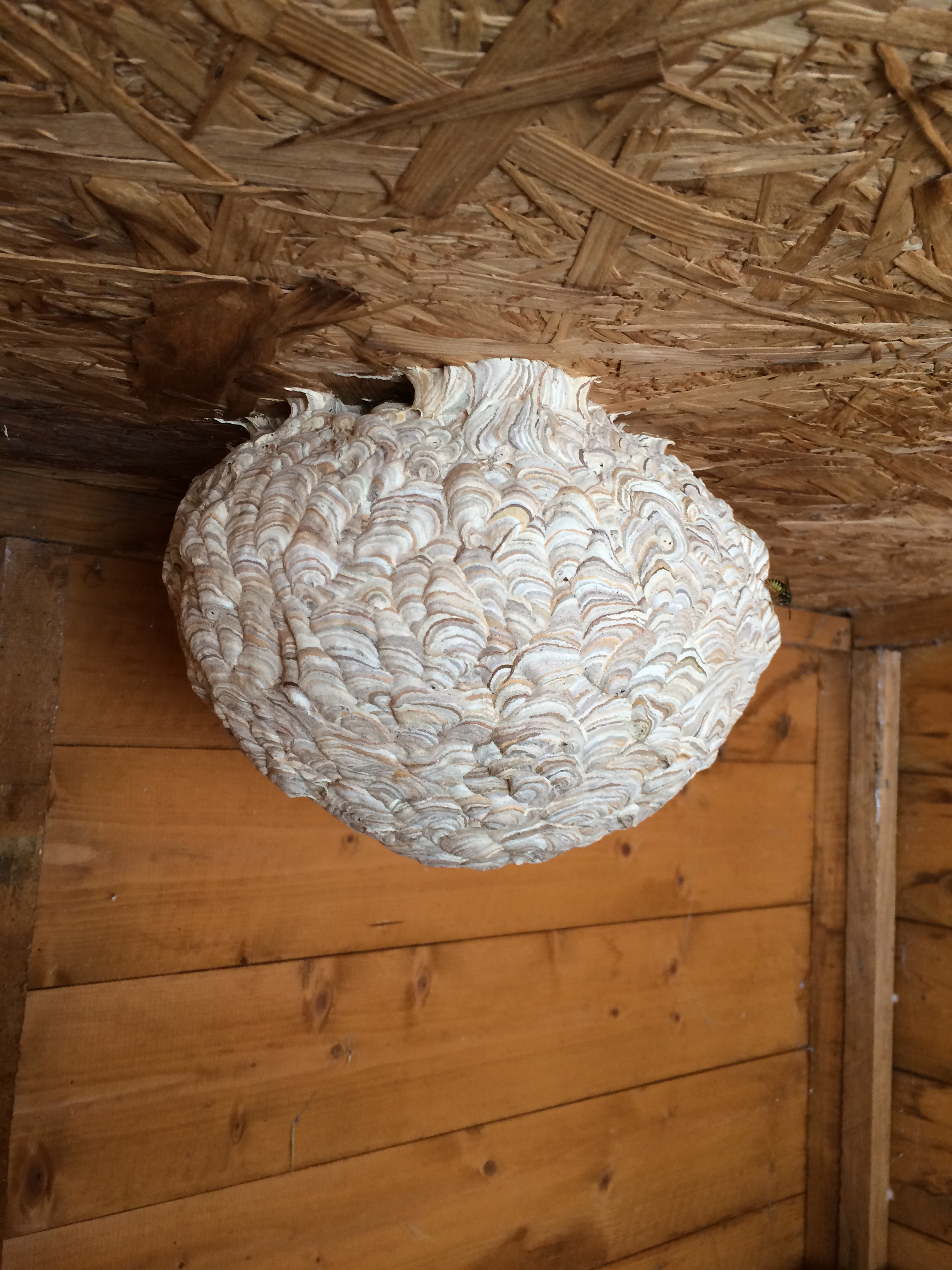 Wasp Nest Removal Nature In Balance Pest Control