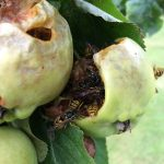 Wasps damaging fruit
