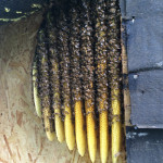 Bee colony living in shed