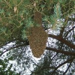Bee swarm in settled in a tree - we can remove bees