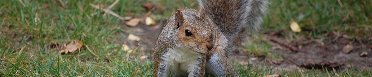 Squirrel Control - local pest control by Nature In Balance