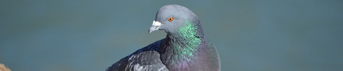 Pigeons Control by Nature In Balance