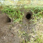 Rat holes under bird table.