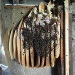 Bee colony in internal wall.